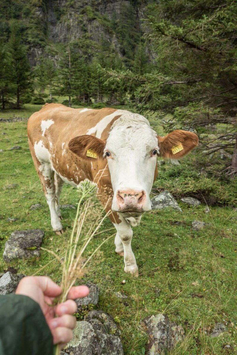 Kráva na Hintersee