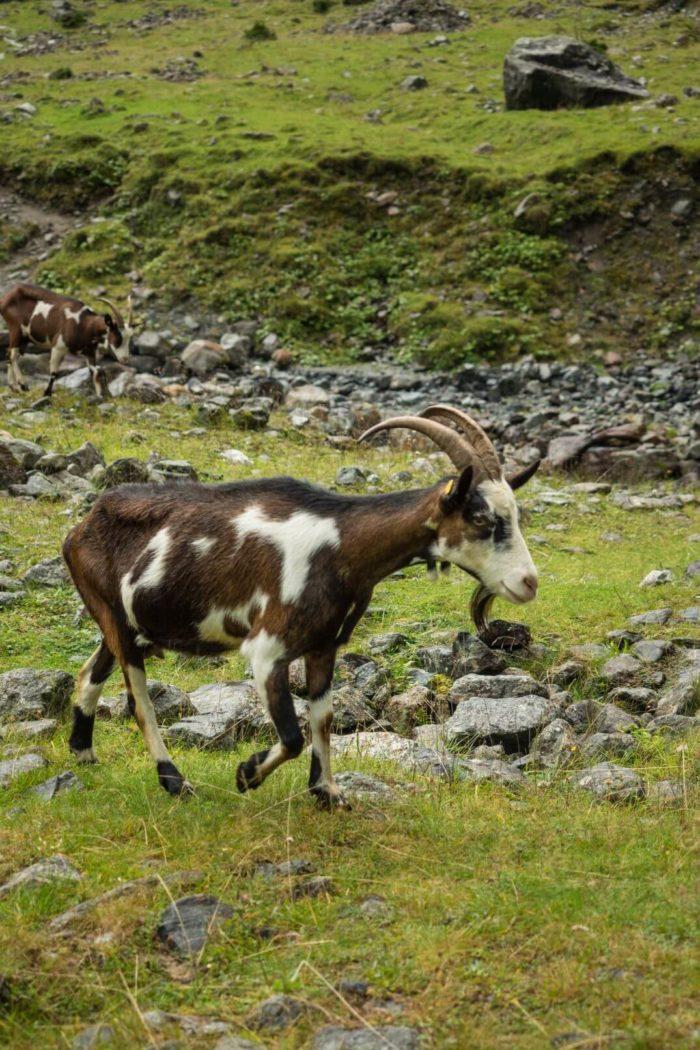Koza v běhu :)