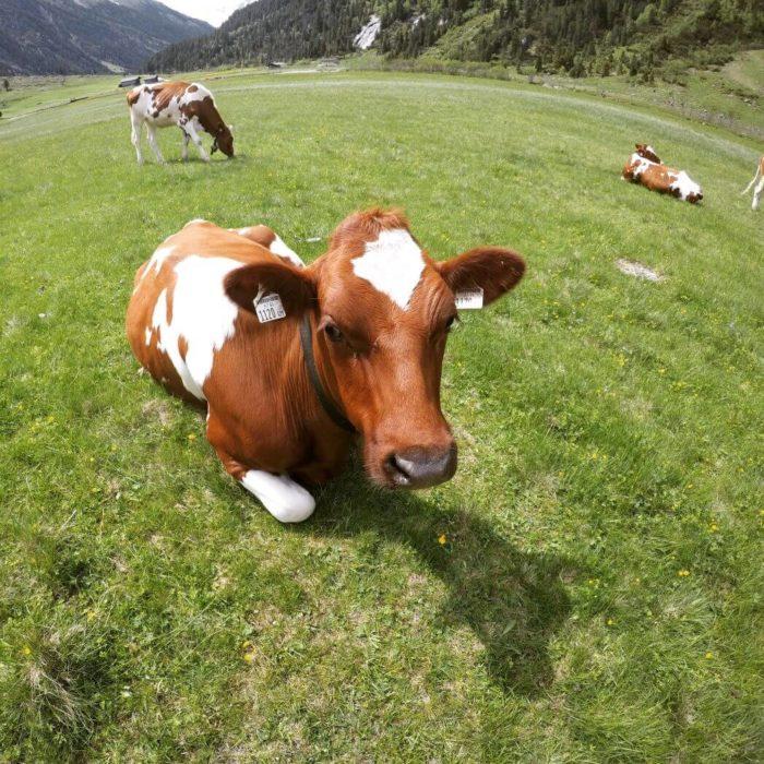 Krávy na Krimmelských vodopádech