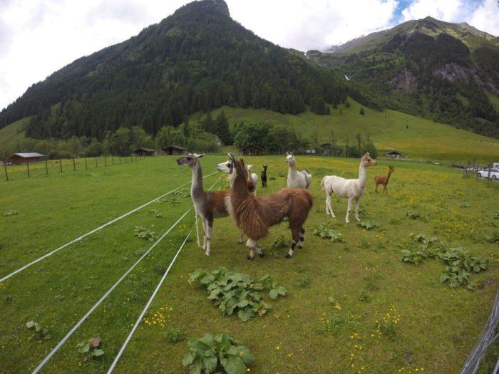 Lamy a alpaky v Rakousku