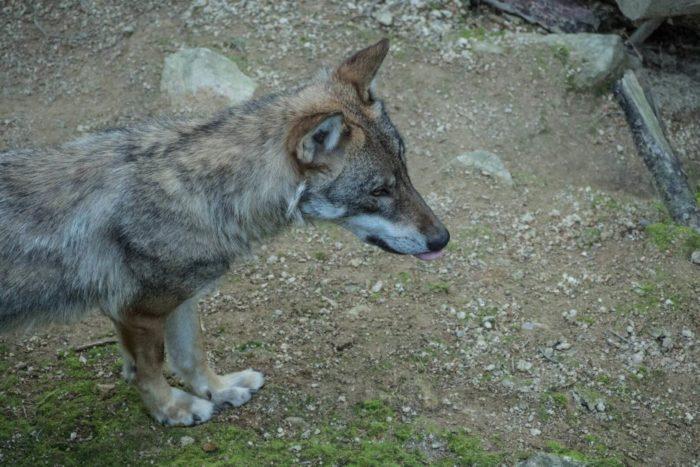 Vlk - Vlčí výběr Srní