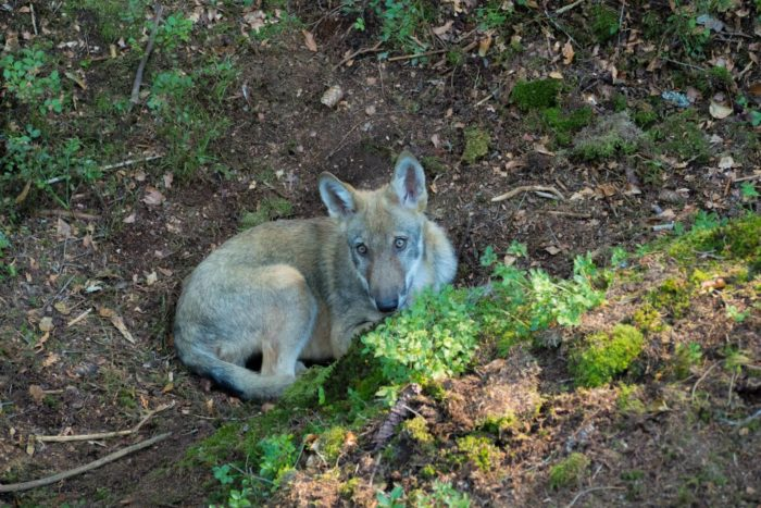 Vlci u Srní