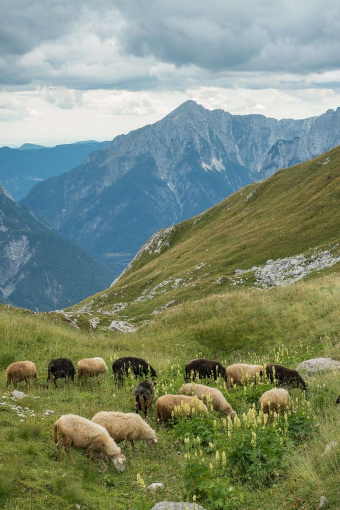 Ovce ve Slovinsku - Mangart