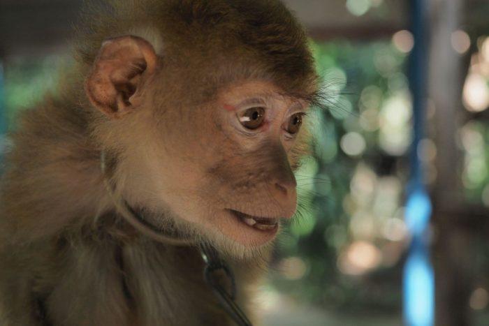 Opice na Koh Samui