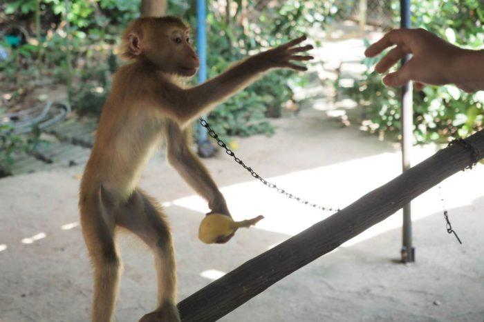 Opice na Koh Samui - v řetězech
