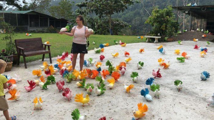 Barevní holubi na Koh Samui