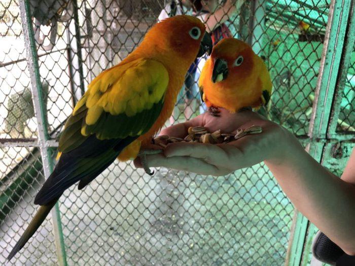 Papoušci na Koh Samui (Thajsko)